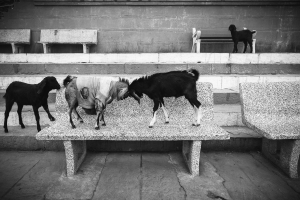 Fighting Goats 1