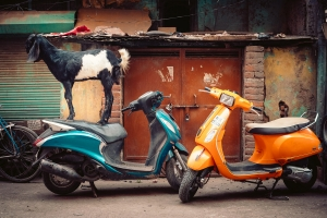 Scooter Goat