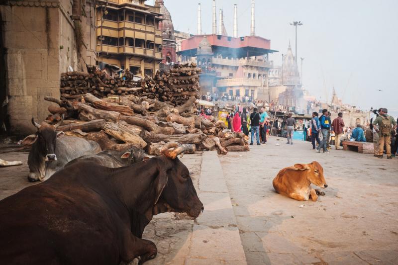 Cows-and-a-Crematorium