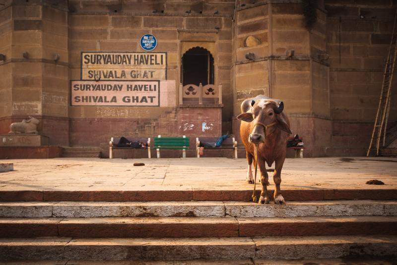 Shivala Ghat Cow