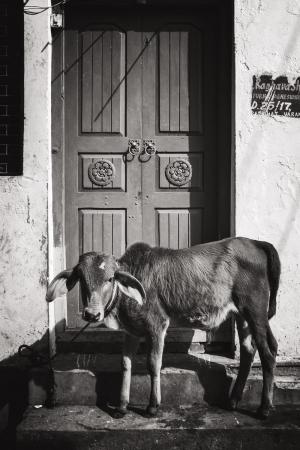 Doorstep Calf