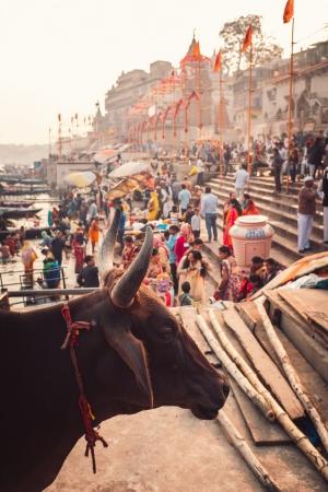 Ghat Street Cow