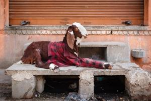Goat-Shirt