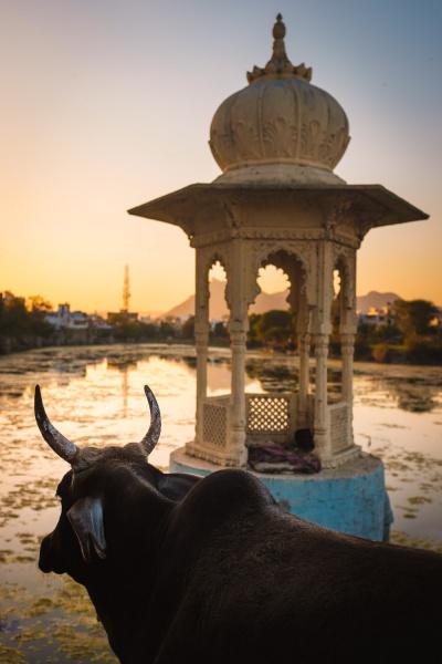 Sunset-Cow