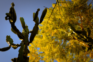 Cactus and Yellow Tree