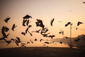 Sundown-Pigeons