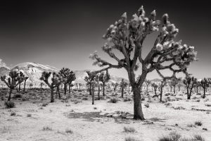 Joshua Tree IR